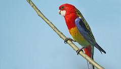 Bare foot and beautiful (judith511) Tags: odc shoes feet bird parrot rosella zygodactylfeet colourful australiannativebird bluesky naturethroughthelens