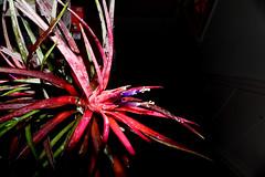 Tillandsia velutina 7-16 (nolehace) Tags: tillandsia velutina 716 summer nolehace sanfrancisco fz1000 flower bloom plant
