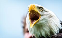 Falknerei Bergisch Land 043 (flashlens_ek2012) Tags: falknerei eagle seaeagle adler seeadler weiskopfseeadler