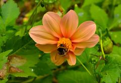 Botanical Garden in Zabrze - dahlia & bumblebee (ChemiQ81) Tags: 2016 polska poland polen polish polsko chemiq  poljska polonia lengyelorszgban  polanya polija lenkija  plland pholainn   pologne puola poola pollando    lsk slezsko silesia schlesien outdoor silesian zabrze ogrd botaniczny flower plant dahlia dalia dalie kwiat kvtina bk trzmiel melk bumblebee