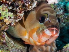 Blacktip Grouper (altsaint) Tags: 45mm blacktipgrouper egypt gf1 hurghada panasonic redsea fish underwater