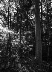 Bush beams (OzzRod) Tags: pentax k1 supertakumar28mmf35 bushland bush forest trees sunburst intothesun sunlight monochrome blackandwhite murrahstateforest
