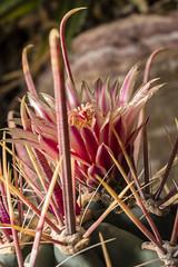 Ferocactus emoryi subsp. covillei (JardinBotanique_Nancy) Tags: 20143444 cactaceae emoryi epine ferocactus fleur jardinbotaniquejeanmariepelt jardinsbotaniquesdenancy serrestropicales subspcovillei tropicalaride arizona sonara
