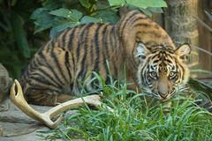Cathy (ToddLahman) Tags: cathy joanne teddy escondido sandiegozoosafaripark safaripark sumatrantiger babysumatrantiger tigers tiger tigertrail tigercub canon7dmkii canon canon100400 eyelock