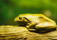 Frog (VirtualWolf) Tags: amphibian animal australia bokeh canonef135mmf2lusm canoneos7d equipment frog mosman newsouthwales places sydney tarongazoo techniques wildlife