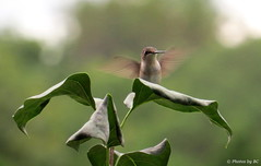 Femail Hummingbird. (~~BC's~~Photographs~~) Tags: bcsphotographs canonsx50 hummingbird female birds closeups summer aroundthefarm kentuckyphotos ourworldinphotosgroup earthwindandfiregroup explorekentucky