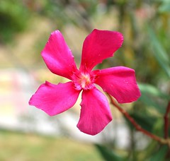 Pink Oleander (Anhel_Olga) Tags: flower flowers pink romantic oleander nature wildnature