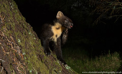 Pine Marten Scratching (Alastair Marsh Photography) Tags: pine pinemarten pinemartens pinemartenkit pineforest pinemartenkits kit kits scratch scratching marten mammal mammals britishwildlife britishanimals britishanimal britishmammals britishmammal scotland scottishwildlife scottishmammal scottishmammals scottishhighlands cameratrap trailcamera night nightphotography nighttime nocturnal nocturnalmammal nocturnalmammals nocturnalwildlife wildlife animal animals animalsintheirlandscape