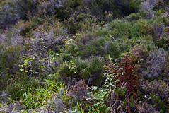 walk in the woods (The tamed shrew) Tags: moorland heather wild plants highlands islands scotland