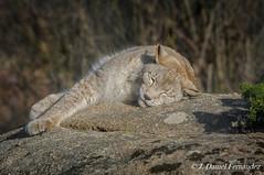 Se acabo la siesta, vuelta al cole (Dani (Atrus)) Tags: linceboreal lince espaa mamiferos mammals elrincndelosprotegidos jdanielfernndezherrero linceeuropeo lynxlynx europeanlynx