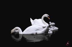 Schwanenfamilie (Real_Aragorn) Tags: schwan swan