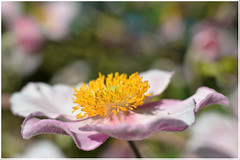 Japanese Anemone (2jaysjoju) Tags: japaneseanemone pink yellow flower bokeh macro nature outdoor summer garden pretty delicate colours petals