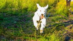 Charlie 20 weeks (Mark Rainbird) Tags: canon charlie dog powershots100 puppy retriever uk ufton uftonnervet england unitedkingdom