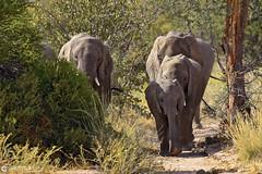 15-09-10 Ruta Okavango Namibia (364) R01 (Nikobo3) Tags: frica namibia palmwag kunene torraconservancy animales animals naturaleza paisajes vidasalvaje travel viajes nikon nikond800 d800 nikon7020028vrii tc20eiii nikobo josgarcacobo flickrtravelaward ngc