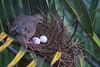 Zenaida auriculata (Wilmer Quiceno) Tags: zenaidaauriculata eareddove torcaza tortola paloma medellin aves birds birding nido nest nesting