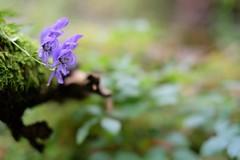 Little flower (DoubleE87) Tags: holz baumstamm mountain wood berge alpen blten dof bokeh 35f14 fujinon xt1 fujifilm fuji blume flower lila purple