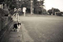 猫 (23fumi@fuyunofumi) Tags: d600 nikon 58mm cosina nokton voigtlander voigtländernokton58mmf14slⅱ cat bw monochrome bokeh dof