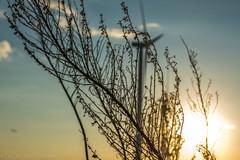 West Texas Morning (13 of 40) (mharbour11) Tags: wildcats elk purple sunrise westtexas texas sky windturbines windmill sun silhouettefire silhouette