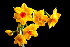 Narcissus on Black (LoomahPix) Tags: blossom botanic botanical botany color colour easter england london nature uk beautiful beauty black blackbackground bloom bright daffodil detail detailed flora flower green narcissus natural orange portrait spring yellow