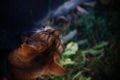 Lizzie (DizzieMizzieLizzie) Tags: abyssinian aby beautiful wonderful lizzie dizziemizzielizzie portrait siesta cat chats feline gato gatto katt katze katzen kot meow mirrorless pisica sony a6000