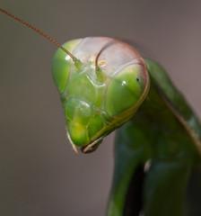 Mante 27 (Jeaunse23) Tags: mantis mantisreligiosa macro insect france ardeche