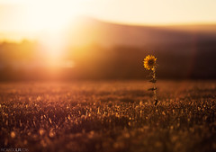 End of summer (Photographordie) Tags: samyangasphericalif85mmf14 samyang samyang85mm olympus olympuspenepm2 olympusepm2 epm2 atardecer sunset 85mm 8514 bokeh mountain montaa campo luz field openfield girasol sunflower light glow flare lonely lonelysunflower solitario horizon sol sunlight summer end verano navarra