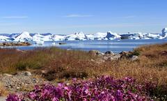 Epilobes with Icebergs in Saqqaq - 70N (twiga269  FEMEN #JeSuisCharlie) Tags: twiga269 om  whatareyoutrainingfor gettingstrongereveryday wanderlust wilderness mountainwilderness mw gngl grandnordgrandlarge gro023 iceisbeautiful 70n 70north greenland kalaallit nunaat kalaallitnunaat disko bay baiededisko diskobugten iceberg icefjord isfjord jakobshavn ilulissat qeqertaq saqqaq groenland grnland groenlandia grnland grenlandia   kayak ice hielo glace glacier immense gletscher ericchazal arctic diskoline inlandsis torssukatak kangilerngata kangilerngatasermia eqi eqip sermia smallesund epilobe