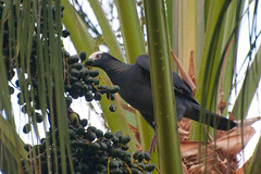 Feasting on palm nuts (amataiclaudius) Tags: birds jamaica baldpate whitecrownedpigeon