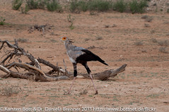 "Secretary Bird • <a style=""font-size:0.8em;"" href=""http://www.flickr.com/photos/56545707@N05/8364537973/"" target=""_blank"">View on Flickr</a>"