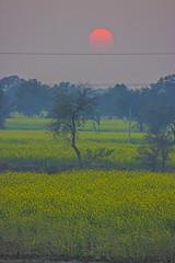 Setting Sun (VikramDeep) Tags: sunset sun india set canon eos rebel evening kiss village fields farms saffron 550d