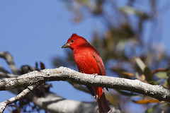 Male summer tanager (Piranga rubra) (Alan Vernon.) Tags: california wild summer male bird nature san wildlife birding luis birdwatching slo avian rubra obispo tanager piranga