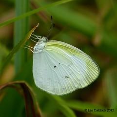 Eurema daira (LPJC) Tags: butterfly ecuador 2012 lpjc euremadaira riohollin