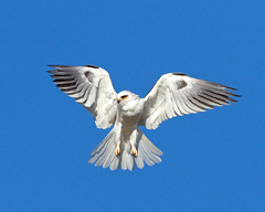 WHITE-TAILED KITE (sea25bill) Tags: california morning blue winter sky sun white bird wings raptor slough whitetailedkite