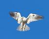 WHITE-TAILED KITE (sea25bill) Tags: california morning blue winter sky sun white bird wings raptor slough whitetailedkite