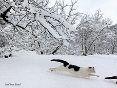 """Richard Gere: """"I'm travelling at the speed of light!!! I'm gonna go, go, go.....There's no stopping me!"""" ❄ (Xena*best friend*) Tags: wood winter wild italy pet cats pets snow cold cute animals fur frozen chats furry woods feline flickr action tiger freezing kitty kittens super queen whiskers piemonte gato calico purr meow paws miao sprint rg gatto mb katzen pussycat markings miau feral monicabellucci wildanimals richardgere flyingcats speedoflight funinthesnow ❄ ©allrightsreserved dontstopmenow runningcats alleycatallies atfullspeed piedmontitaly canonef70300mm catsinthesnow canoneos500d eosrebelt1i theresnostoppingme imgonnagogogo boc0213"""