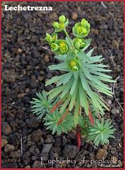 Euphorbia cf. peploides Ene13 (lanzarote rural) Tags: planta lanzarote canarias euphorbia lechetrezna