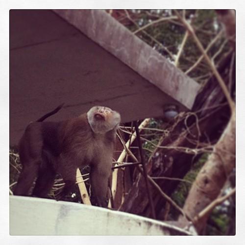 มีลิงโผล่มาทักทายด้วย2ตัว มันปีนลงมาอย่างว่องไวและอีกตัวขึ้นไปบนหลังคาอย่างรวดเร็ว(บริเวณที่ลิงตัวนี้ยืนมอง)เลยเหลือลิง1ตัวอยู่ในรูป 55+ ^0^ #ถ่ายไม่ทัน อิๆ #iphoneography #monkey