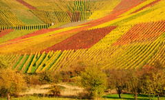 Autumn Vineyard Panorama (Habub3) Tags: park travel autumn trees panorama house holiday art fall texture nature colors lines germany garden landscape deutschland vineyard search reisen nikon europa stuttgart kunst urlaub herbst natur haus vine vineyards landschaft baum vacanze