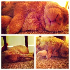 Lazy Sunday evenings... (mylo_rabbit) Tags: sleeping cute rabbit bunny sleep adorable lapin usagi mylo uploaded:by=flickrmobile flickriosapp:filter=nofilter