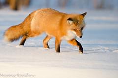 DSC_7968 (Maxime Riendeau) Tags: winter snow canada quebec hiver qubec fox neige redfox renard renardroux maximeriendeau