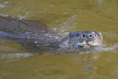 Eurasian Otter (KHR Images) Tags: wild closeup swimming river mammal wildlife norfolk otter mustelid littleouse lutralutra eurasianotter kevinrobson khrimages