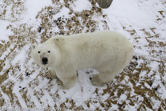 "Polar bear in Tundra Buggy tracks in Churchill Manitoba. • <a style=""font-size:0.8em;"" href=""http://www.flickr.com/photos/92120860@N06/8454773860/"" target=""_blank"">View on Flickr</a>"