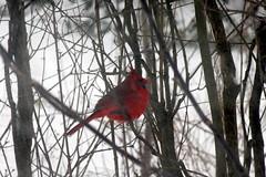 Northern Cardinal in Lilac bush_8196 (Bobolink) Tags: ontario stirling northerncardinal