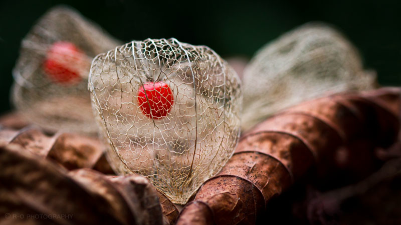 The world 39 s most recently posted photos of coqueret flickr hive mind - Fruit cage d amour ...