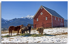 Hungry critters (walla2chick) Tags: old horses snow ford oregon barn 1931 photoshoot cattle cows karl enterprise northeast veterinary drkarl scottishcattle poshshed topazadjust pinetreerd drkarlzwanziger egglesonlane redbarnveterinary 65254pinetreerd or97828 3553ta