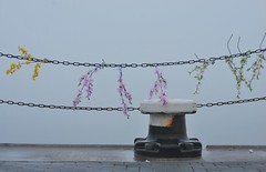 aloha (Scilla sinensis) Tags: flowers hawaii valentine lei nordsee poller whv blumenkette