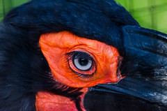 DSC_3426 (PeSoPhoto) Tags: zoo nikon ground xp hornbill artis 80400 d7000