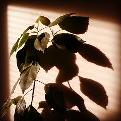 (Amber-Thomas) Tags: light shadow sunlight plant warm flickrandroidapp:filter=none