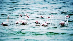 Flamingo  (Ahmed Fareed 2010) Tags: sea bird flamingo seabird bink     flickrandroidapp:filter=none