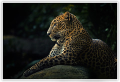 Portrait of the Leopard (Vin PSK) Tags: